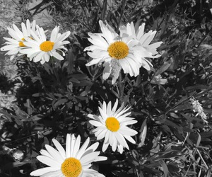 black and white, flowers, and nature image
