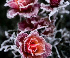 beauty, roses, and frozen image