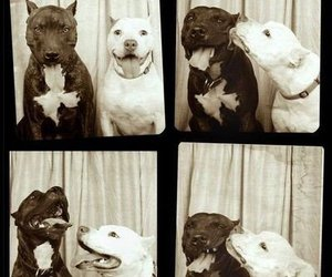 dog, pitbull, and kiss image