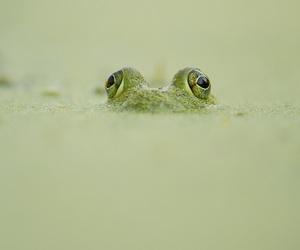 pond, frog, and bullfrog frog image