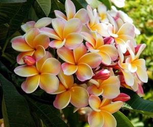 flowers, hawaii, and plumeria image