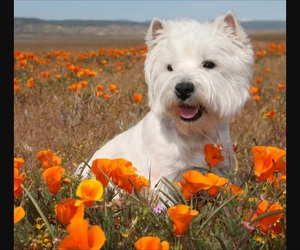 dog, relax, and west highland white terrier image