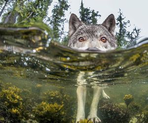 wolf, nature, and water image