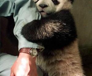 panda and hug image