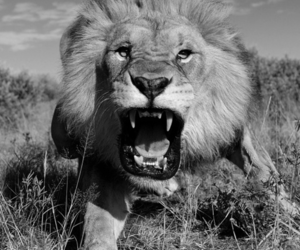 black & white, lion, and nature image