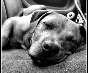 photography, puppy, and pitbull image