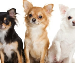 chihuahuas, dogs, and three image