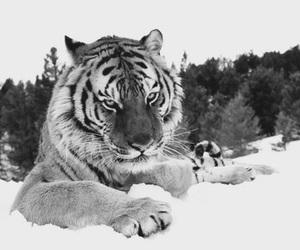 animal, tiger, and snow image