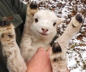 animal, cute, and lamb image