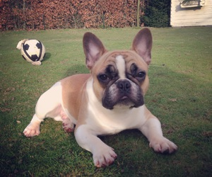 bulldog, dog, and french bulldog image