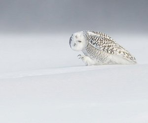 owl, snow, and white image