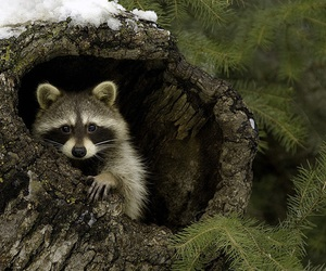 animals, forest, and raccoon image