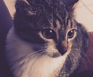 beau, beautiful, and cat image