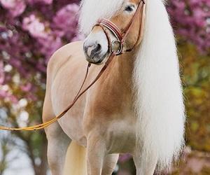 horse, pony, and haflinger image