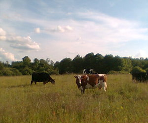 cows, forest, and summer image