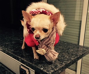 chihuahua, gucci, and cute image