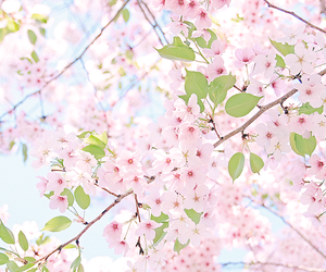 cherry blossoms, flowers, and photography image