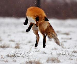 fox, animal, and jump image