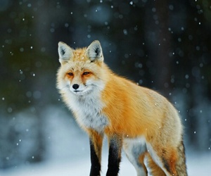 animal, fox, and snow image