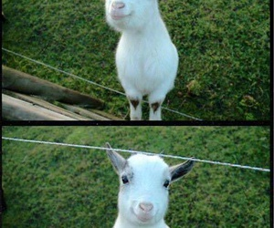 goat, cute, and happy image
