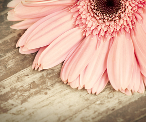 flower, gerbera, and pink image