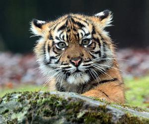 big cats, cute animals, and tiger cub image