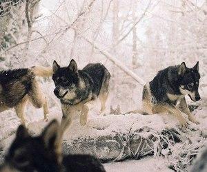 wolf, snow, and animal image