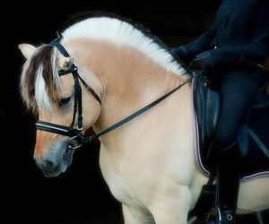 dressage, equestrian, and fjord image