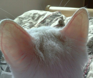 cat, pale, and ear image