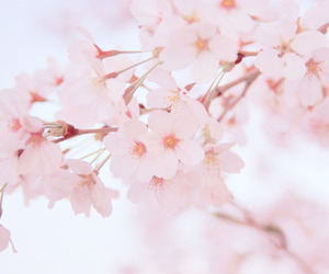 flowers and sakura image