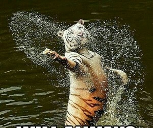 tiger, funny, and lol image