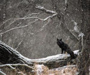 fox, winter, and black image