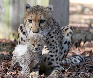 baby animals, big cats, and cheetah image