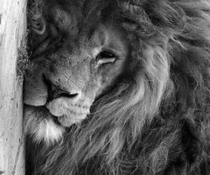 lion, animal, and photography image