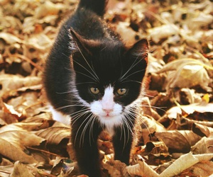 animal, cat, and autumn image