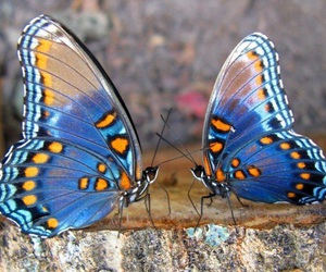 blue, butterflies, and pretty image