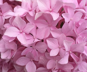 flower, hydrangea, and nature image