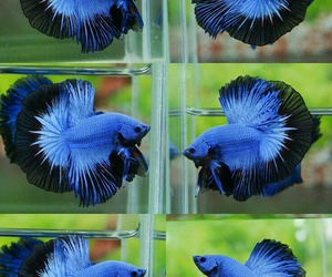 colorful and betta fish image