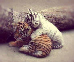 cute, animal, and tiger image