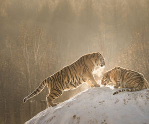 snow, tiger, and tigers image