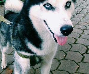 dog, husky siberiano, and cute image