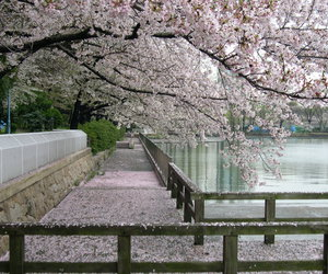 japan, cherry blossom, and nature image
