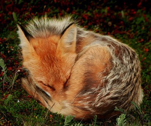 fox, grass, and nature image