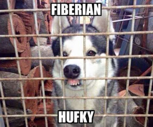 funny, dog, and husky image