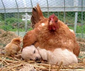Chicken, dog, and puppy image