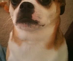 bulldog, puppy, and sad face image