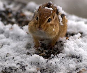 chipmunk, snow, and cute image