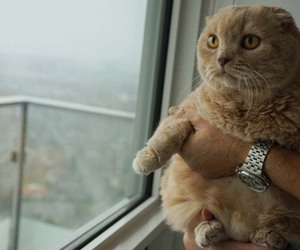 cats of instagram, scottish fold cat cute, and holding a cat image