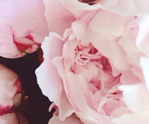 beautifull, flowers, and pink image