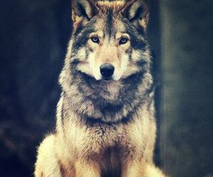 wolf, animal, and wild image